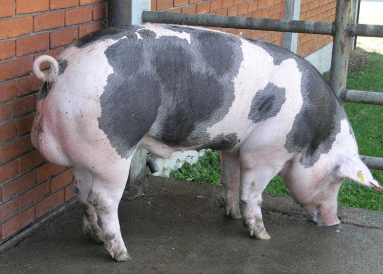 Описание и характеристика породы свиней Пьетрен, содержание и разведение