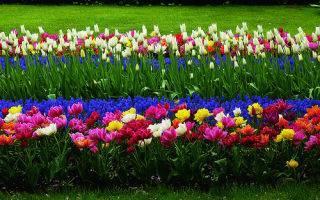Как красиво посадить тюльпаны на участке: фото дизайна клумб в саду