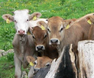 Что делать, если корова съела послед: основные симптомы, правила лечения и профилактики