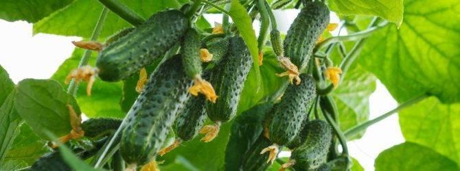 Характеристика кустовых огурцов и особенности выращивания