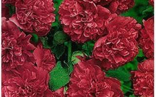 Шток роза или мальва — советы по выращиванию в саду