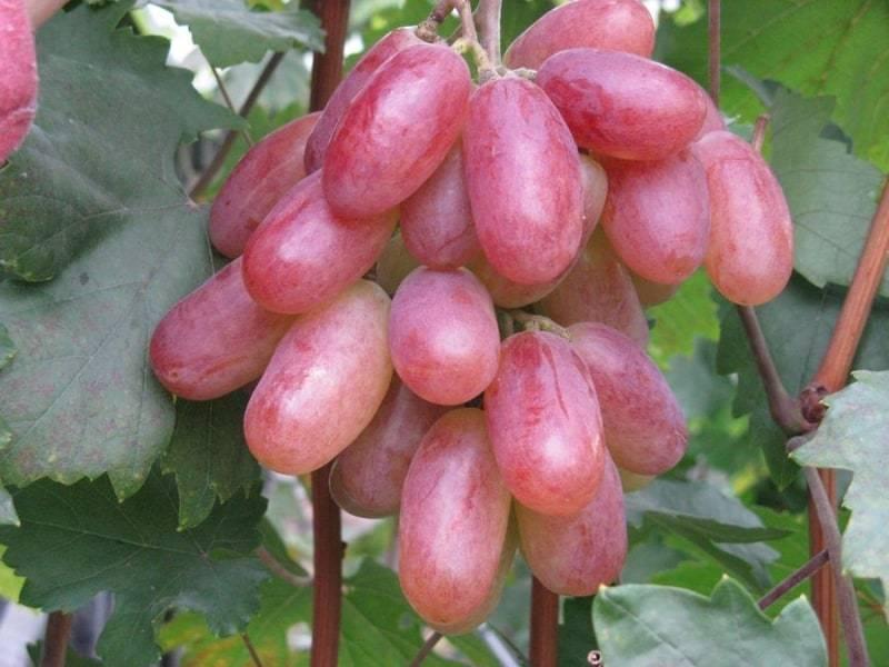 Рубиновый юбилей виноград