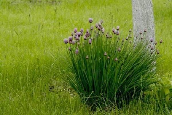 Декоративный лук аллиум: лучшие cорта, выращивание и уход в открытом грунте