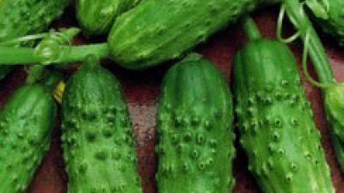 Описание и выращивание огурцов сорта Петербургский экспресс f1