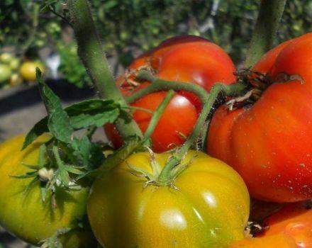 Перечень среднеспелых сортов томата, с описанием характеристик и рекомендациями по выращиванию в теплицах и открытом грунте