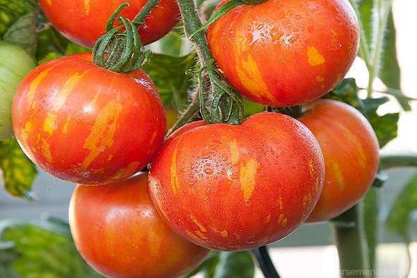 Описание томата яблочный спас, его характеристики, достоинства и недостатки