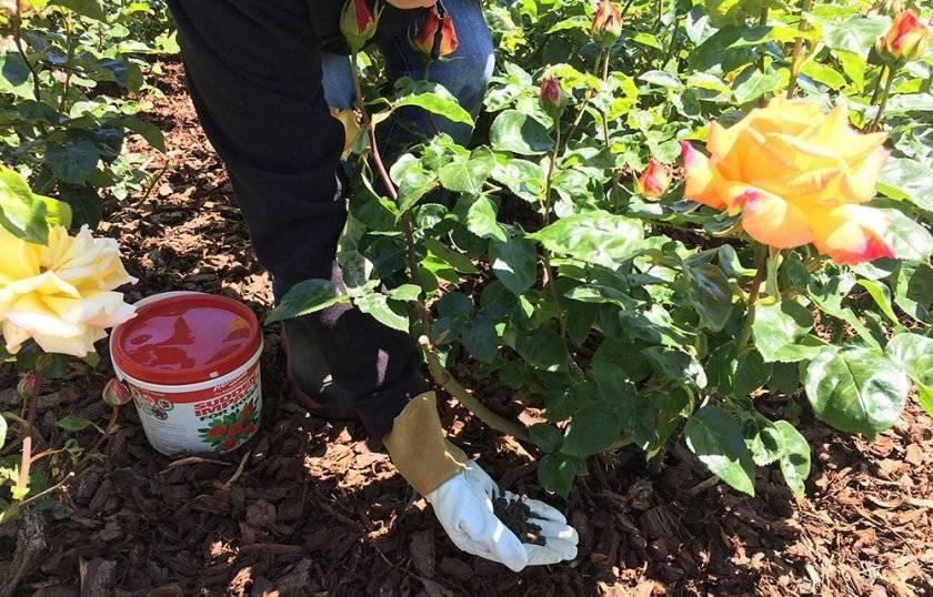 Раскрыт секрет подкормки гладиолусов! такого цветения вы еще не видели