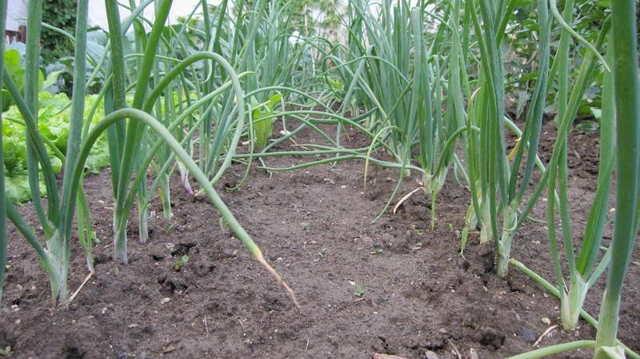 Чем можно подкормить лук весной и летом, чтобы был крупный?