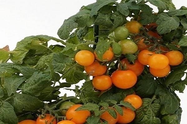 Описание сорта томата Оранжевая шапочка, его характеристика и урожайность