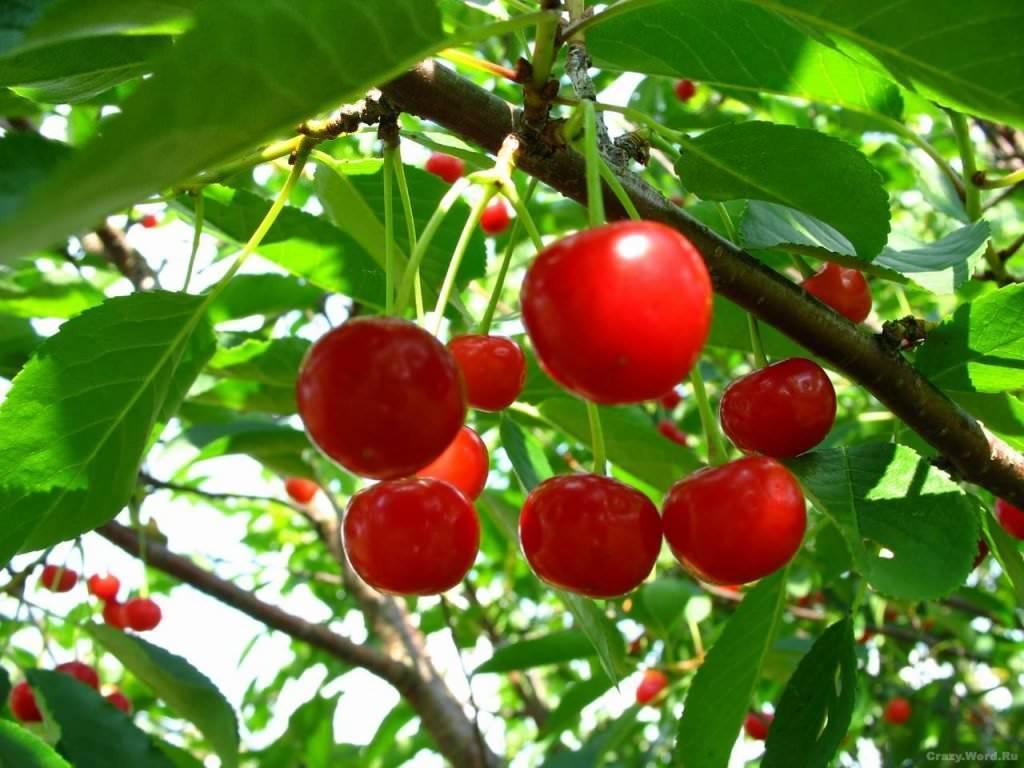 Популярные сорта вишни для выращивания в подмосковье