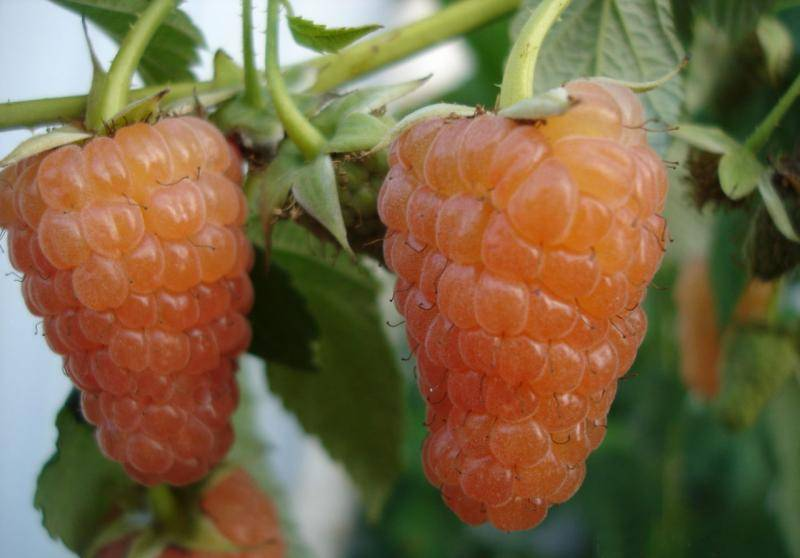 Ремонтантная малина сорта оранжевое чудо — отрада для вашего сада
