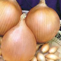 Описание сорта лука Стурон, особенности выращивания и ухода