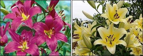 Лилии - посадка и уход в открытом грунте в летний период