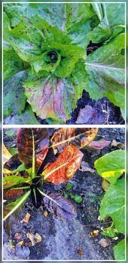 Цикорий — фото и описание растения, полезные свойства, применение в кулинарии