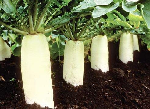 Дайкон: выращивание японской редьки