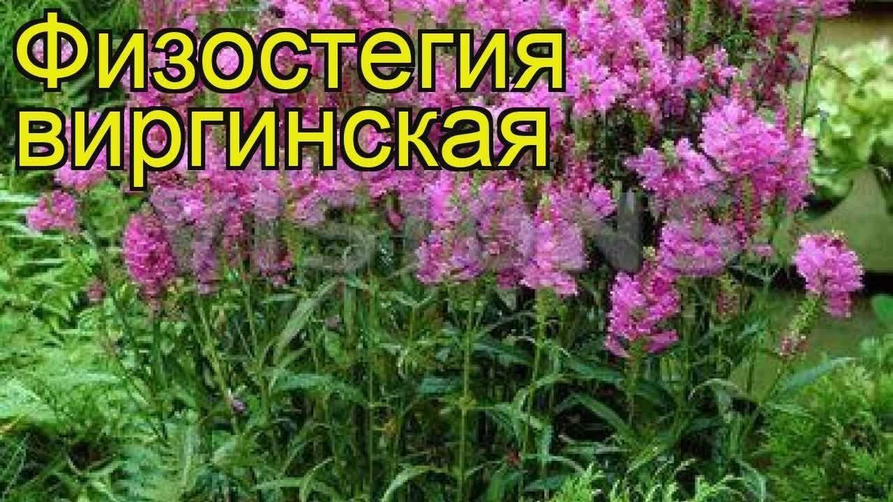 Правила посадки физостегии в открытый грунт и уход за растением