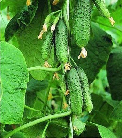 Огурец кураж f1: описание, посадка и выращивание в теплице и открытом грунте