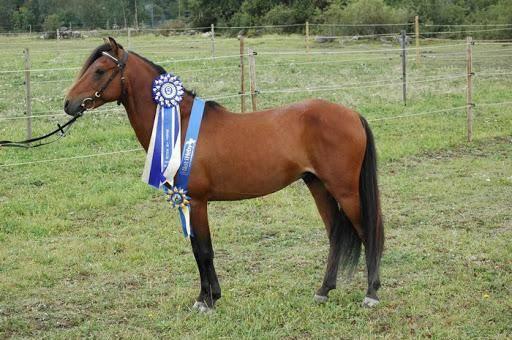 Описание и особенности самых популярных пород американских верховых лошадей
