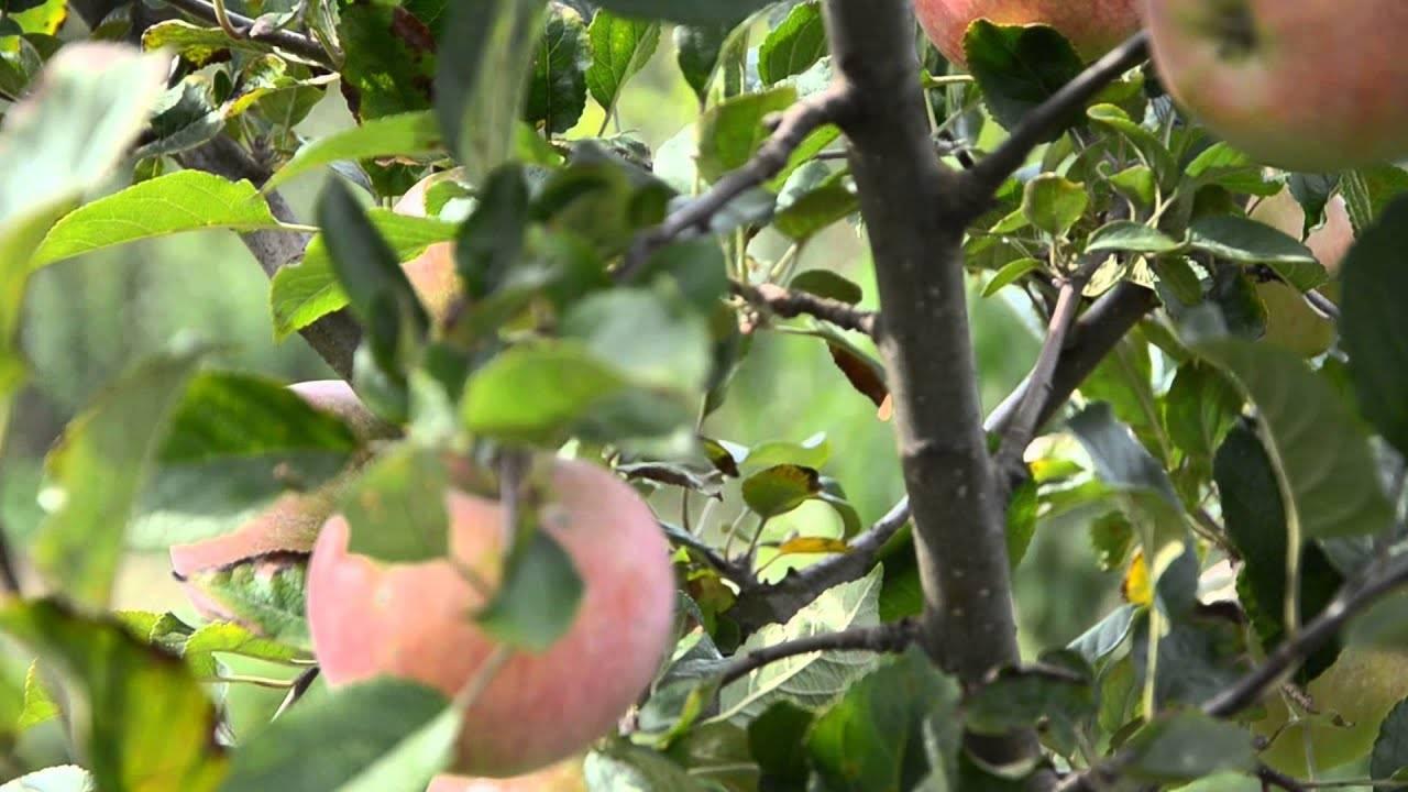 Компактная яблоня аленушка