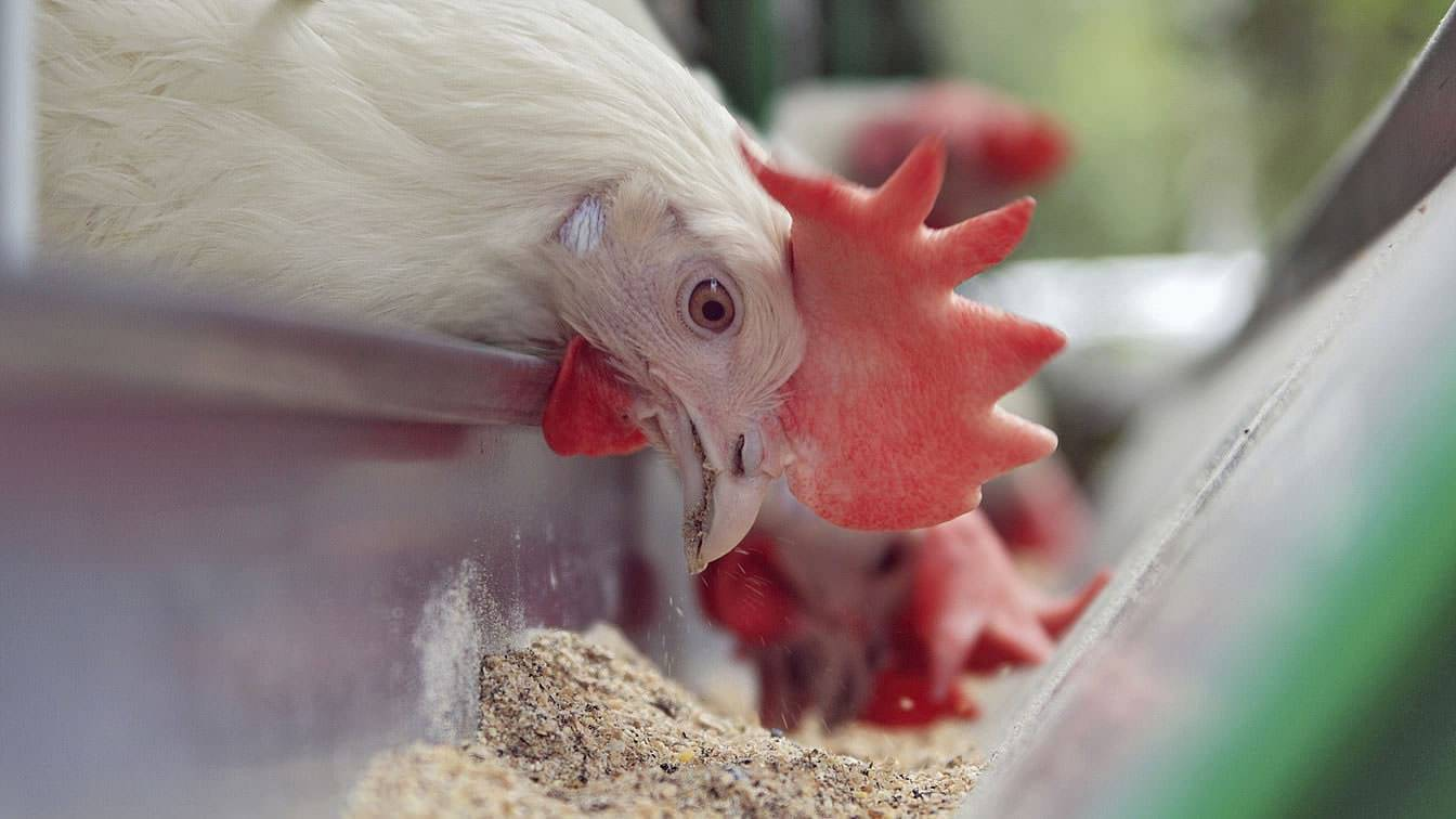 О линьке у куриц (почему куры линяют и когда будут нестись): что делать