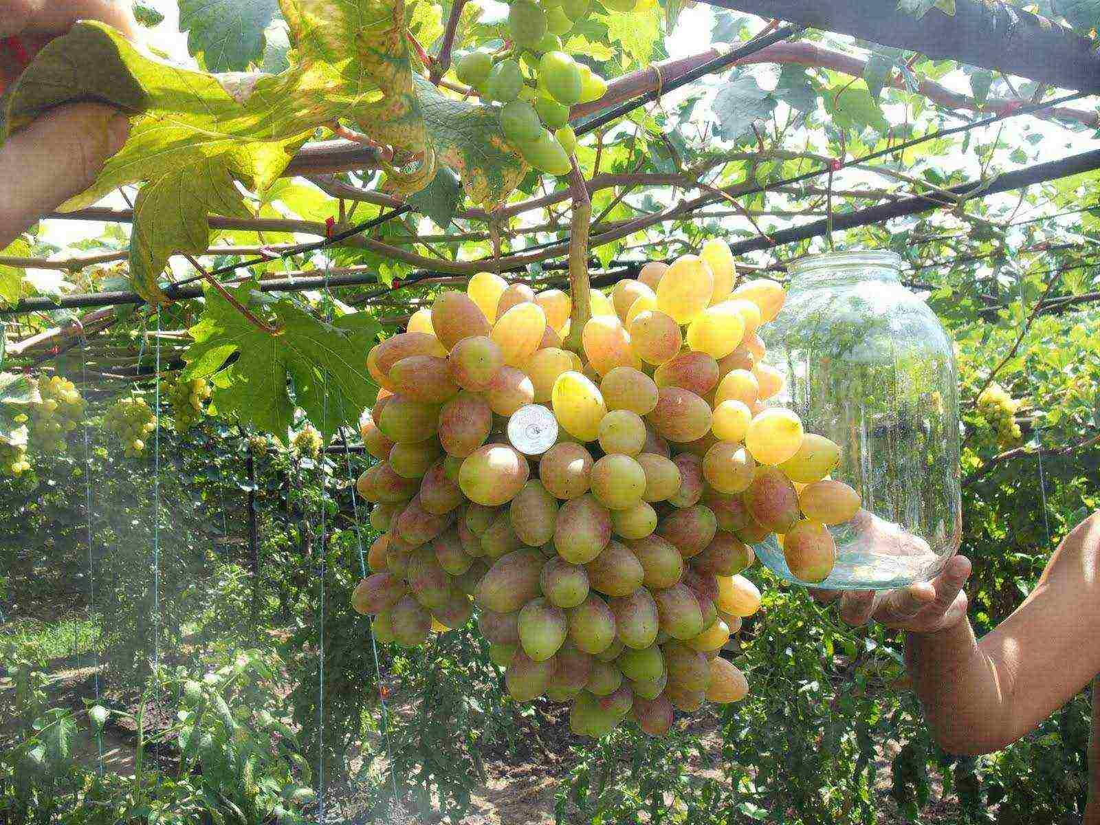 Виноград в теплице: выращивание, посадка и уход, схема обрезки с видео