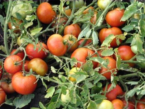 Характеристика и описание сорта томата вспышка