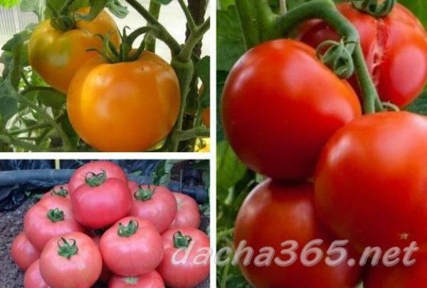 Томат ирина характеристика и описание сорта урожайность отзывы фото