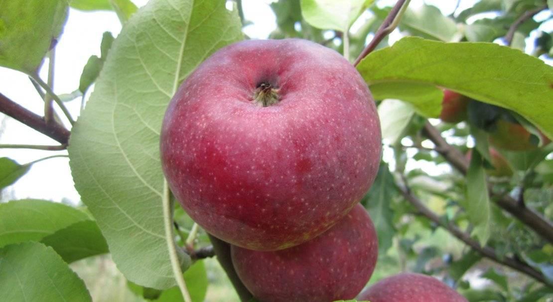Выращивание и уход за сортом яблони лобо