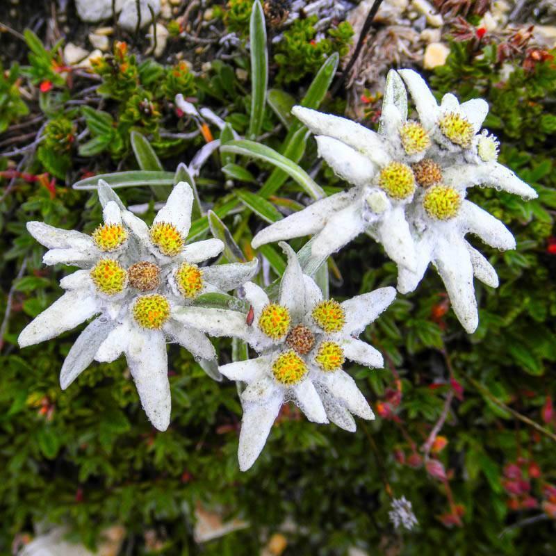Цветок эдельвейс – нежная красота для вашей дачи