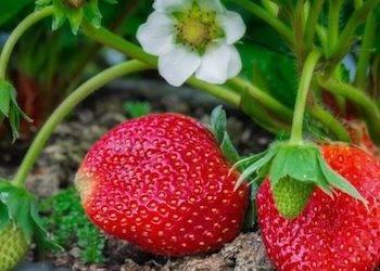 Виды удобрений для садовой земляники во время созревания ягод