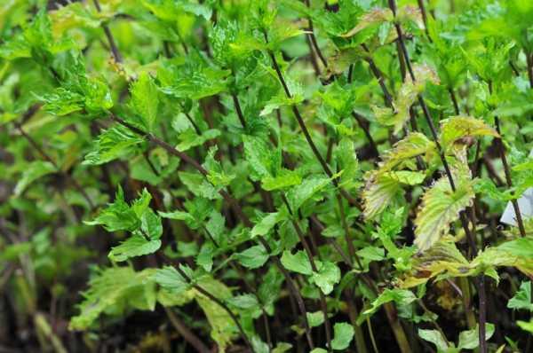 Болотная мята или омбало - все о растении
