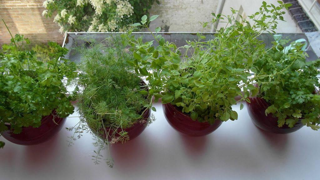 Укроп на подоконнике — выращивание из семян зимой в квартире или дома