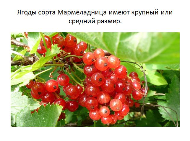 Богатство видов и сортов смородины: черная, красная, белая, золотистая, бордовая и зеленая