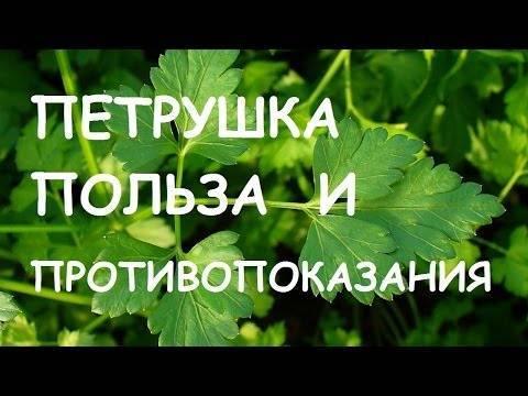 Почему желтеют листья петрушки на грядке. методы борьбы с болезнями и вредителями. выбор места под петрушку
