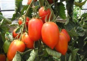 Томат «бийская роза»: описание сорта, рекомендации по выращиванию и уходу