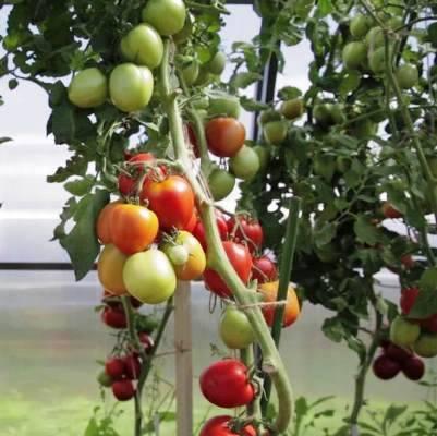 Какие сорта томатов будут лучшими для посадки в 2020 году