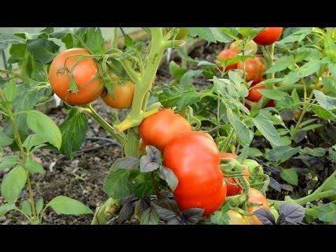 Сорт томата «взрыв»: фото, видео, отзывы, описание, характеристика, урожайность