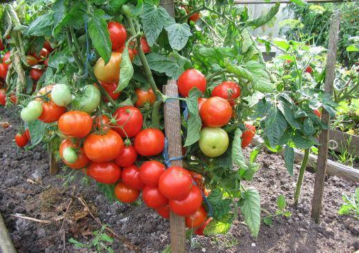 Индетерминантные и детерминантные помидоры: описание, отличия, сорта