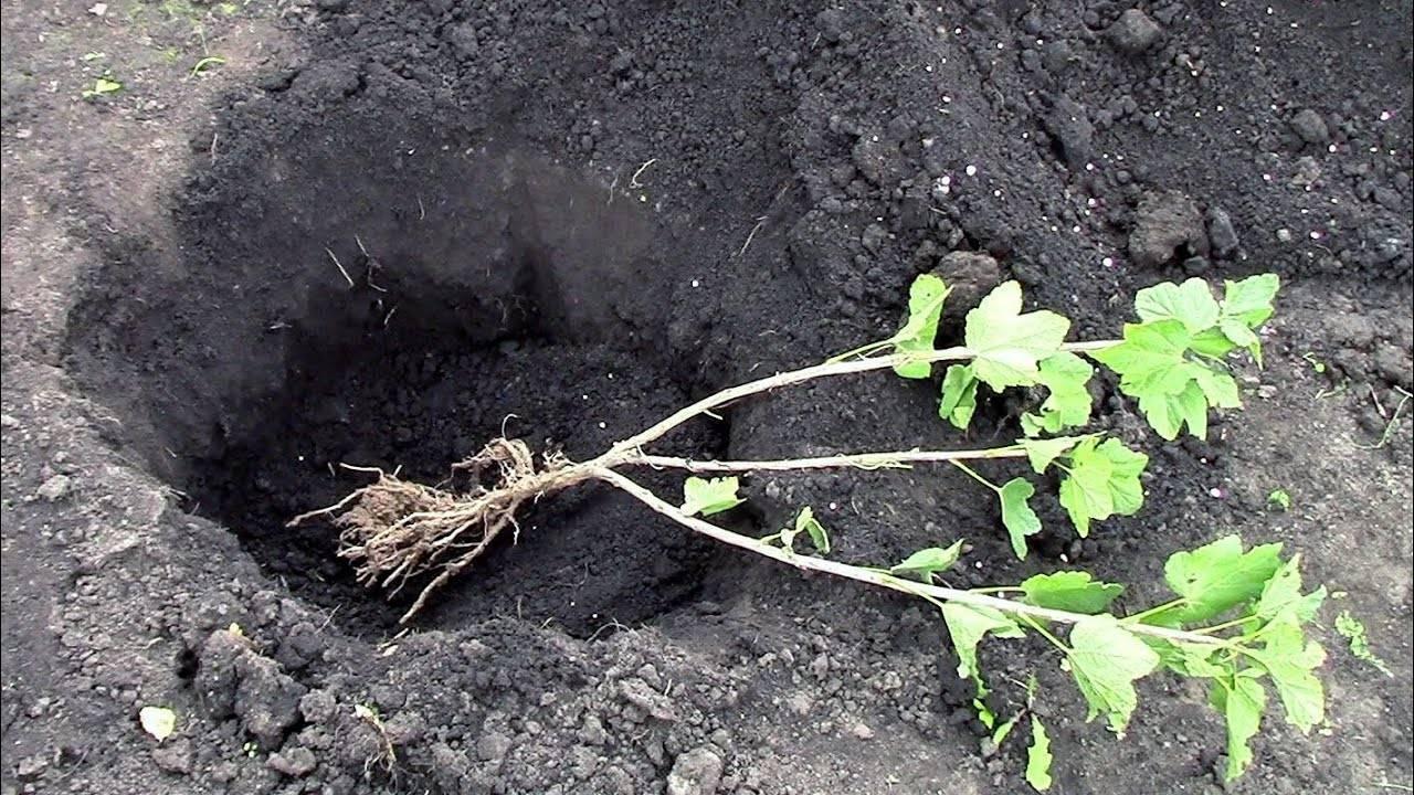 Как сажать черную смородину весной