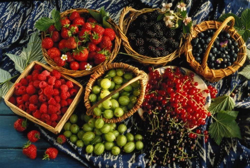 Когда созревают ягоды малины в разных регионах, сроки сбора домашней и лесной