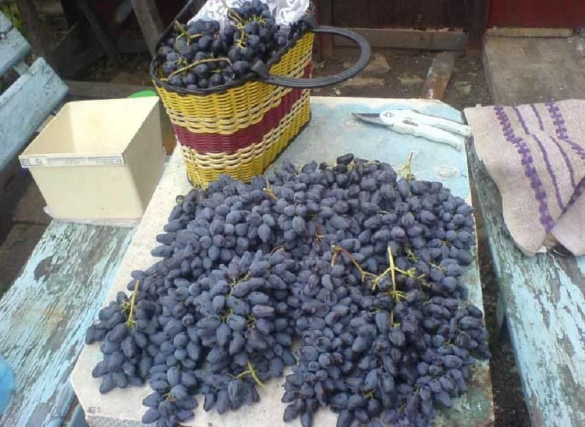Описание и характеристики винограда сорта сфинкс, выращивание и уход