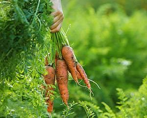 Что случилось с морковью — основные заболевания и способы лечения с фото
