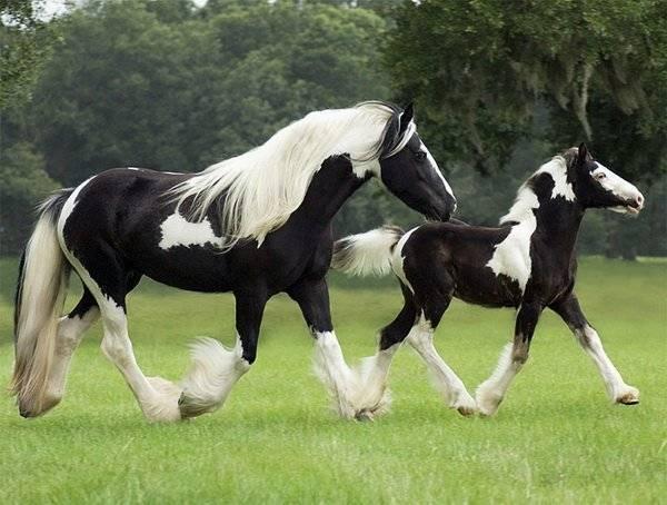 Тракененские лошади: особенности внешнего вида, характера и содержания породы