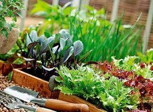 Как выращивать петрушку на подоконнике
