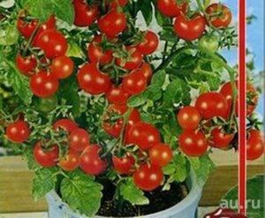 Грибное лукошко — томатный экзот из сибири