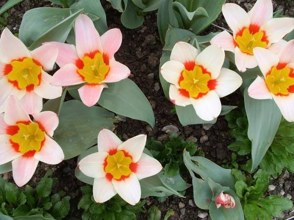 Ботанические тюльпаны: описание сортов, посадка и уход с фото