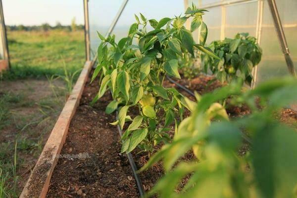 Чем подкормить перцы после высадки в грунт: сроки, особенности