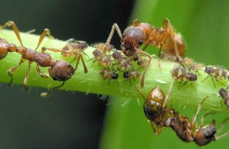 Что делать с муравьями на грядках огурцов в теплице