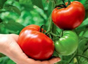 Гибрид томата «сладкая девочка»: особенности сорта, достоинства, отзывы