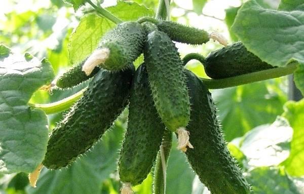 Сорт огурца амур: выращивание, посадка и уход, фото